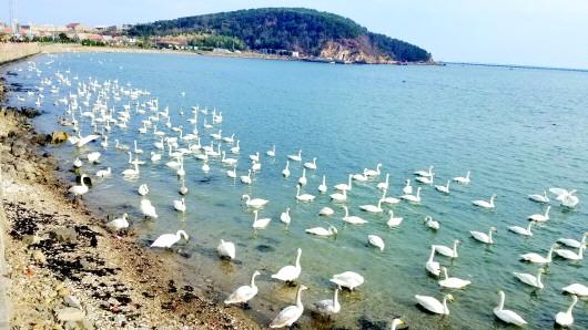 观天鹅泡温泉,威海冬